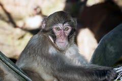 Porträt des traurigen Affen mit den hellen gelben Augen, die in camera schauen Lizenzfreie Stockfotos