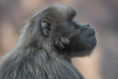 Porträt des traurigen afrikanischen Pavians in der offenen Reserve Lizenzfreie Stockbilder