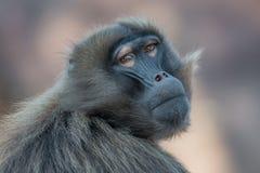 Porträt des traurigen afrikanischen Pavians in der offenen Reserve Stockbilder