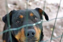 Porträt des traurigen rottweiler hinter Zaun lizenzfreies stockfoto
