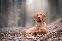 Porträt des ungarischen vizsla Zeigerhundes im Herbst lizenzfreie stockfotografie