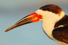 Porträt des Vogels mit großer Rechnung Schwarzes Abstreicheisen, Rynchops Niger, schöne Seeschwalbe im Wasser Schwarzes Abstreich Lizenzfreies Stockbild