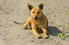 Porträt des würdevollen weiblichen Streuhundes, der aus den Grund liegt Lizenzfreie Stockfotografie