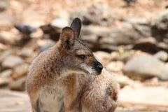Porträt des Wallabys schauend rechts Lizenzfreies Stockbild