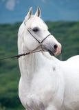 Porträt des weißen arabischen Hengstes Lizenzfreies Stockfoto