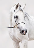 Porträt des weißen arabischen Pferds am grauen Hintergrund stockfoto