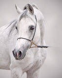 Porträt des weißen arabischen Pferds am grauen Hintergrund stockfotos