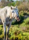 Porträt des weißen Camargue-Pferds Parc Regional de Camargue frankreich Provence Lizenzfreie Stockbilder