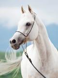 Porträt des weißen erstaunlichen arabischen Hengstes stockbild
