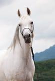 Porträt des weißen erstaunlichen arabischen Hengstes stockfotografie
