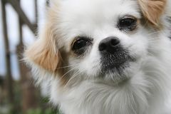 Porträt des weißen Hundes Lizenzfreies Stockbild