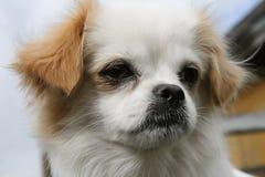 Porträt des weißen Hundes Stockbilder