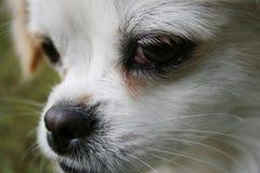 Porträt des weißen Hundes Stockfoto