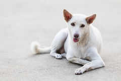 Porträt des weißen Hundes liegend auf Hintergrund Lizenzfreies Stockfoto