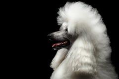 Porträt des weißen königlichen Pudel-Hundes lokalisiert auf schwarzem Hintergrund Stockbild