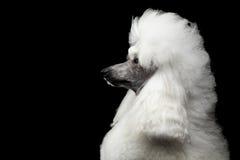 Porträt des weißen königlichen Pudel-Hundes lokalisiert auf schwarzem Hintergrund stockbilder