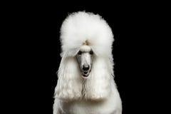 Porträt des weißen königlichen Pudel-Hundes lokalisiert auf schwarzem Hintergrund Stockfotos