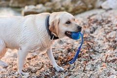 Porträt des weißen Welpenlaborhundes am Strand, der Whit der Ball spielt Lizenzfreies Stockfoto