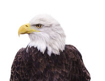 Porträt des Weißkopfseeadlers lokalisiert auf Weiß lizenzfreie stockbilder