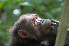 Porträt des weiblichen Schimpansen Stockbilder