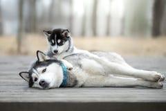 Porträt des weiblichen Schlittenhunds mit Welpen Lizenzfreie Stockbilder
