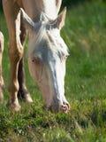 Porträt des Weiden lassens des cremello Fahrponys Lizenzfreies Stockbild