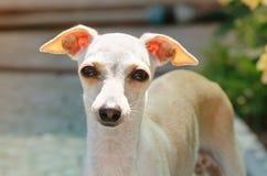 Porträt des Welpen des italienischen Windhunds Stockfoto