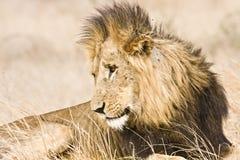 Porträt des wilden männlichen Löwes, der sich im Busch, Kruger, Südafrika hinlegt Lizenzfreie Stockfotografie