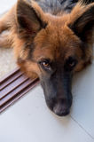 Porträt deutschen shepperd Hundes auf swimiming Pool des Hintergrundes Stockfoto