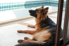 Porträt deutschen shepperd Hundes auf swimiming Pool des Hintergrundes Lizenzfreies Stockbild