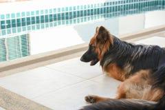 Porträt deutschen shepperd Hundes legen sich auf dem swimiming Hintergrund hin Lizenzfreie Stockfotos