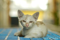 Porträt eine siamesische Katze Lizenzfreie Stockbilder