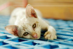 Porträt eine siamesische Katze Lizenzfreies Stockfoto