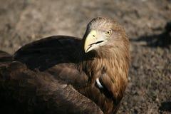 Porträt einer Adlernahaufnahme Stockbild