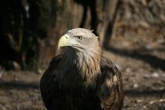 Porträt einer Adlernahaufnahme Lizenzfreie Stockfotos