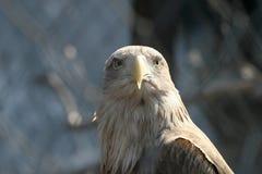 Porträt einer Adlernahaufnahme Stockbilder