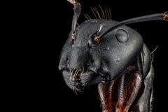 Porträt einer Ameise Stockbild