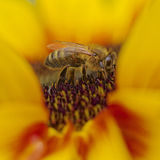 Porträt einer Biene Lizenzfreie Stockbilder