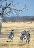 Porträt einer Blendung der Zebras unter einem Akazienbaum Stockfotos