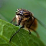 Porträt einer Bremse, Tabanidae Lizenzfreies Stockbild