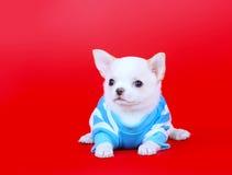 Porträt einer Chihuahuanahaufnahme Weißer Welpe des lustigen Welpen in der blauen Kleidung Lizenzfreie Stockfotos