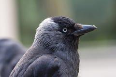 Porträt einer Dohle mit etwas Nahrung oder Schmutz auf seinem Schnabel stockbild