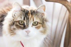 Porträt einer dreifarbigen Katze mit rotem Kragen auf rustikalem Stuhl anstarrend entlang des Beobachters lizenzfreie stockbilder