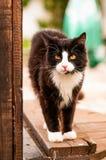 Porträt einer dunkelbraunen Katze Stockbild