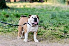 Porträt einer englischen Bulldogge auf einer Leine lizenzfreie stockbilder