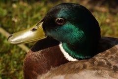 Porträt einer Ente Stockente, in der sonnen- Nahaufnahme - Frankreich lizenzfreie stockfotos