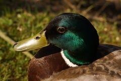 Porträt einer Ente Stockente, im sonnen- Frankreich lizenzfreie stockbilder