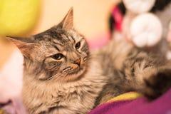 Porträt einer ernsten Katze Stockfotografie