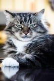 Porträt einer ernsten Katze stockfoto