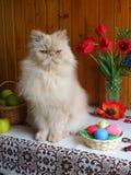 Porträt einer erwachsenen persischen Katze, die auf dem Küchentisch sitzt Stockfoto
